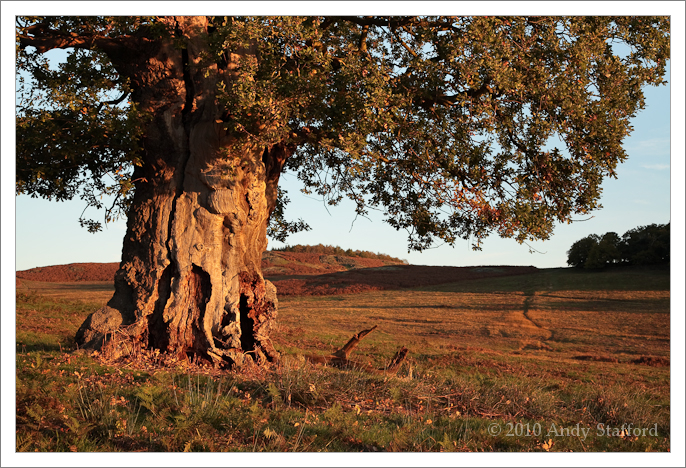 Ancient Tree At Dawn, Bradgate Park