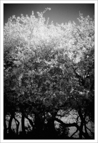 Infrared converted Canon 350D + Holga Lens
