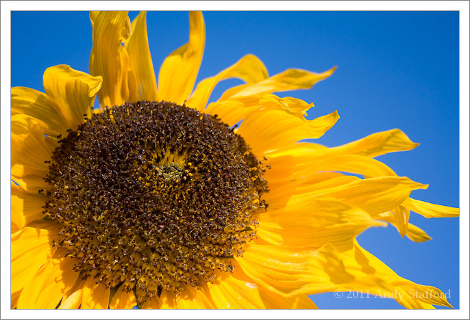 Sunlit sunflower against a blue sky