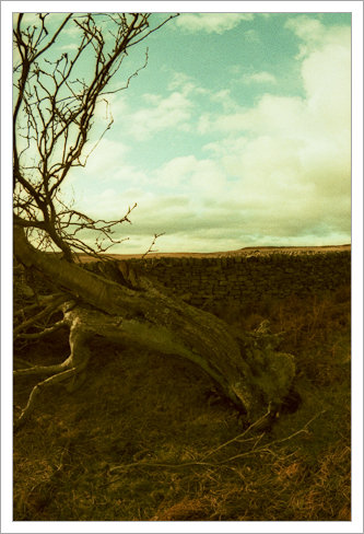 Curbar Edge, Fallen Tree